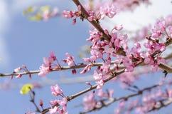 Różowy okwitnięcie na czereśniowe gałąź zamyka w górę obraz royalty free