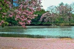 Różowy okwitnięcie w wodzie Zdjęcia Stock
