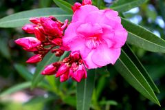 Różowy Oleandrowy kwiat z pączkami zdjęcie royalty free