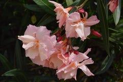 Różowy oleandrowy kwitnący drzewo obraz royalty free