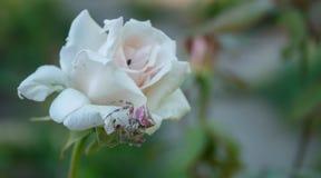 Różowy pająk obraz royalty free