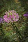 Różowy pająka kwiat - Cleome hassleriana w ogródzie Obrazy Royalty Free