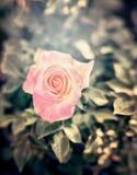 Różowy pal wzrastał w kwiatu ogródzie, zakończenie up Obrazy Royalty Free