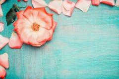 Różowy pal wzrastał z płatkami na błękitnym turkusowym tle, odgórny widok Miłości, romantycznego i walentynek dzień, Zdjęcia Royalty Free