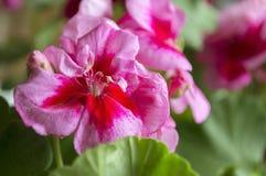 Różowy pelargonium zakończenie Fotografia Stock