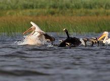 Różowy pelikan bierze daleko od wody zdjęcie royalty free