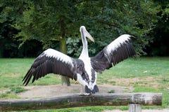 Różowy pelikan rozprzestrzenia out jego skrzydła w zakończeniu up fotografia stock