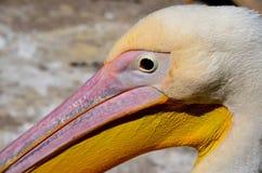Różowy pelikana pelikan Fotografia Royalty Free