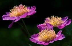 Różowy peoni okwitnięcie Zdjęcie Royalty Free
