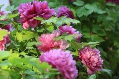 Różowy peonia kwiatów okwitnięcie Zdjęcia Stock