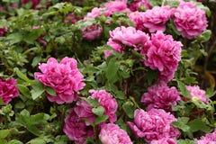 Różowy peonia kwiatów okwitnięcie Zdjęcia Royalty Free