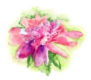 Różowy peonia kwiat Fotografia Stock