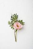 Różowy peonia kwiat na białym textured tle Fotografia Royalty Free