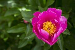 Różowy peonia kwiat z żółtym centre Obrazy Stock