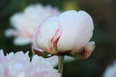 Różowy peonia pączek obraz stock