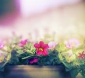 Różowy petunia kwiatów garnek na zamazanym natury tle obrazy royalty free