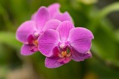 Różowy phalaenopsis, różowa orchidea zamknięta w górę miękkiej ostrości w obrazy stock