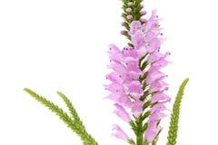 Różowy Physostegia kwiat Obrazy Royalty Free