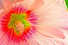 Różowy piękny kwiatu strzału zbliżenie Obrazy Stock