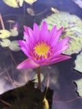 Różowy piękny lotosowy kwiat w basenie Zdjęcia Royalty Free