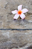 Różowy plumeria zdjęcia royalty free