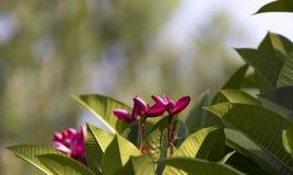 Różowy Plumeria kwitnienie w ogródzie zdjęcie stock