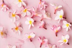 Różowy plumeria tło Fotografia Royalty Free