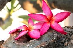 Różowy plumeria widoku tło Zdjęcie Stock