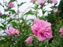Różowy poślubnik fotografia royalty free