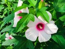 Różowy poślubnik zdjęcie stock