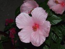 Różowy poślubnik Fotografia Stock