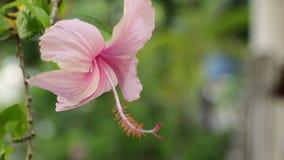 Różowy poślubnik kwitnie w naturalnym świetle zbiory