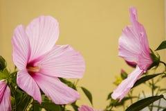 Różowy poślubnik obraca each inny fotografia stock