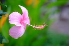 Różowy poślubnik z żółtym owocolistkiem Fotografia Stock