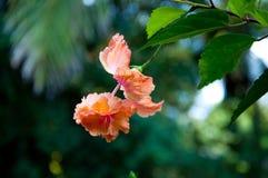 Różowy poślubnika kwiat zdjęcia stock