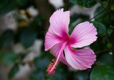 Różowy poślubnika kwiatu kwitnienie w natury tle Obraz Royalty Free