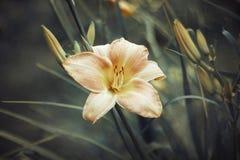 Różowy pomarańczowy daylily na zielonym tle w górę Łososiowy Hemerocallis z textured liśćmi Odg?rny widok makro- Ogrodowy odwiecz obraz royalty free