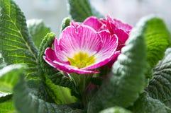 Różowy primula hortensis z zielenią opuszcza w garnku, primoses zdjęcie royalty free