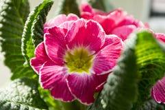 Różowy primula hortensis z zielenią opuszcza w garnku, primoses zdjęcie stock