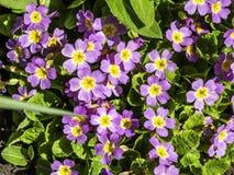 R??owy primula kwitnienie w wiosna ogr?dzie obraz stock