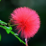 Różowy Prochowy chuch, Calliandra haematocephala Obraz Royalty Free