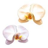 Różowy purpury róży kwiat odizolowywający na bielu Obrazy Royalty Free