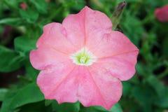 Różowy pustyni róży kwiat (Inni imiona są pustynnym różą, Próbny Azale Zdjęcia Stock