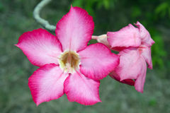 Różowy pustyni róży kwiat (Inni imiona są pustynnym różą, Próbny Azale Obraz Royalty Free