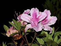 Różowy różanecznik kwitnie w cloudforest Zdjęcia Royalty Free