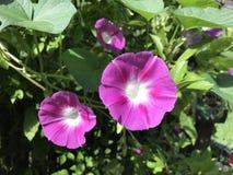 Różowy ranek obraz stock