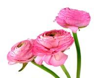 różowy ranunculus fotografia stock