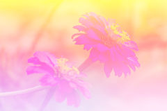 Różowy Słomiany kwiat Zdjęcia Royalty Free