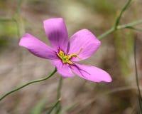 Różowy Sabatia Wildflower zakończenie Zdjęcie Royalty Free