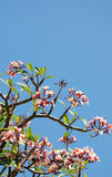 Różowy Sacuanjoche Obrazy Royalty Free